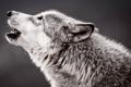 Картинка волк, хищник, профиль, воет