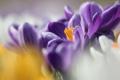 Картинка макро, весна, желтые, крокусы, первоцветы, сиреневые