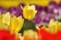 Картинка желтый, красное, фокус, весна, тюльпаны