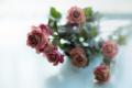 Картинка фон, розы, цветы