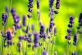 Картинка цветы, зеленый, сиреневый, лаванда, Lavender