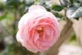 Картинка макро, нежность, роза