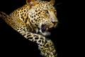 Картинка хищник, лапы, леопард, клыки, черный фон, пятнистый