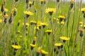 Картинка поле, макро, природа, растение, луг, ястребинка