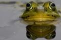 Картинка глаза, вода, макро, лягушка, жаба