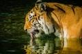 Картинка язык, морда, тигр, хищник, профиль, дикая кошка, водоем