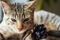 Картинка котэ, кот, лапа, морда