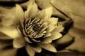 Картинка макро, растение, лепестки, кувшинка, белая