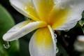 Картинка цветок, вода, капли, роса, лепестки, плюмерия