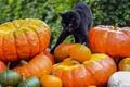 Картинка кот, фон, чёрный, тыквы