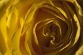 Картинка цветок, свет, желтый, роза