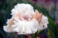 Картинка белый, цветок, лепестки, ирис
