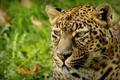 Картинка пятна, leopard, animal, леопард