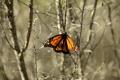 Картинка макро, бабочка, насекомое, Monarch