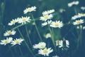 Картинка цветы, ромашки, белые, много