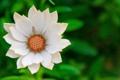 Картинка цветок, лепестки, белые