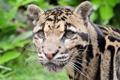 Картинка дымчатый леопард, морда, хищник