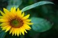 Картинка цвет, подсолнух, соняшник