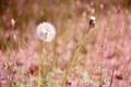 Картинка поле, цветок, трава, одуванчик