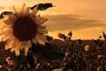 Картинка Sunset, Sunrise, Fields, Sunflower