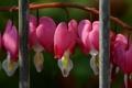 Картинка забор, ветка, прутья, цветущая