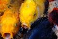 Картинка вода, рыбки, рыбы, пруд, разные, золотые, караси