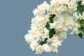 Картинка белые, бугенвиллея, лепестки, ветка, голубой фон, цветы