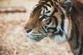 Картинка усы, тигр, хищник, шерсть, смотрит