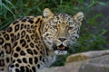 Картинка морда, хищник, леопард, клыки, дикая кошка