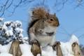 Картинка зима, снег, белка, мех, грызун