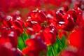 Картинка лето, цветы, красный, тюльпаны
