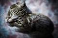 Картинка кот, усы, взгляд, кошак, котяра