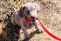 Картинка глаза, weimaraner, щенок, поводок, взгляд, собака