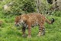 Картинка сердитый, дикая кошка, хищник, ягуар, рык
