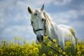 Картинка белый, цветы, конь, лошадь, луг, грива, косички