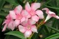 Картинка Oleander, цветок, макро