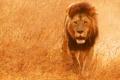 Картинка природа, фото, хищник, Лев, саванна