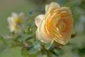 Картинка макро, роза, бутон, боке