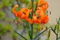 Картинка листья, лилии, оранжевые, цветение