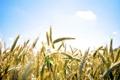 Картинка пшеница, поле, небо, облака, колос, колосья, sky