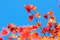Картинка небо, листья, ветка, клен, багрянец