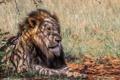 Картинка морда, тень, хищник, лев, грива, Африка, дикая кошка