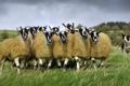 Картинка луг, собака, Англия, пастбище, овцы