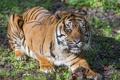 Картинка кошка, тигр, ©Tambako The Jaguar, суматранский