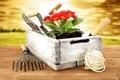 Картинка цветы, red, ящик, красная, box, flowers, примулы