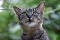 Картинка кот, взгляд, серый, фон, пололсатый