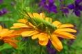 Картинка цветок, кузнечик, макро, насекомые