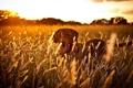Картинка закат, поле, собака
