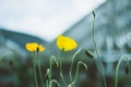 Картинка цветы, мак, желтые, лепестки