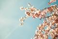 Картинка цветы, свежесть, ветка, весна, почки
